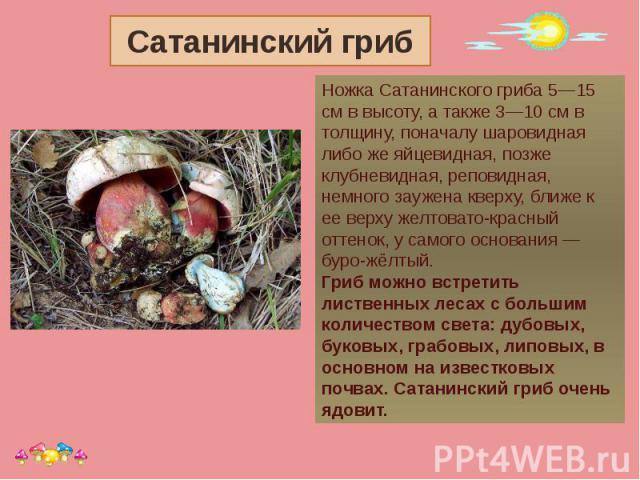 Сатанинский гриб Ножка Сатанинского гриба 5—15 см в высоту, а также 3—10 см в толщину, поначалу шаровидная либо же яйцевидная, позже клубневидная, реповидная, немного заужена кверху, ближе к ее верху желтовато-красный оттенок, у самого основания — б…