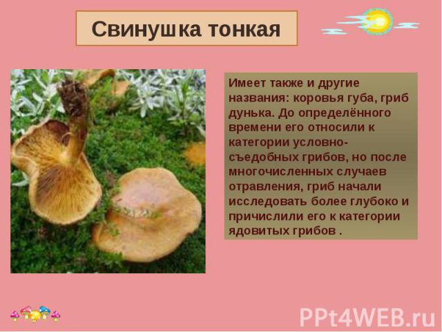 Свинушка тонкая Имеет также и другие названия: коровья губа, гриб дунька. До определённого времени его относили к категории условно-съедобных грибов, но после многочисленных случаев отравления, гриб начали исследовать более глубоко и причислили его …
