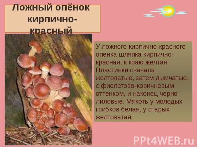 Ложный опёнок кирпично-красный У ложного кирпично-красного опенка шляпка кирпично-красная, к краю желтая. Пластинки сначала желтоватые, затем дымчатые, с фиолетово-коричневым оттенком, и наконец черно-лиловые. Мякоть у молодых грибков белая, у стары…