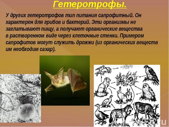 Гетеротрофы. У других гетеротрофов тип питания сапрофитный. Он характерен для грибов и бактерий. Эти организмы не заглатывают пищу, а получают органические веществав растворенном виде через клеточные стенки. Примером сапрофитов могут служить дрожжи …