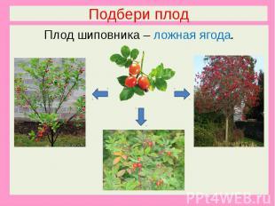 Подбери плодПлод шиповника – ложная ягода.