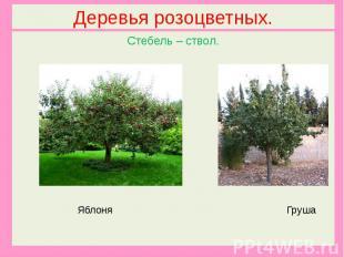 Деревья розоцветных.Стебель – ствол. Яблоня Груша
