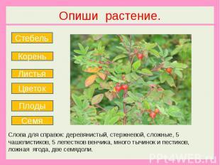 Опиши растение. Слова для справок: деревянистый, стержневой, сложные, 5 чашелист