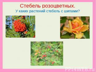 Стебель розоцветных.У каких растений стебель с шипами?