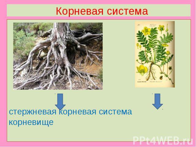 Корневая системастержневая корневая система корневище