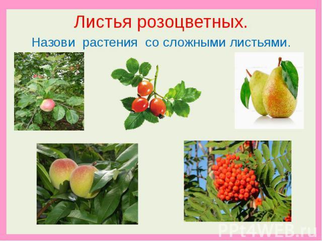 Листья розоцветных.Назови растения со сложными листьями.