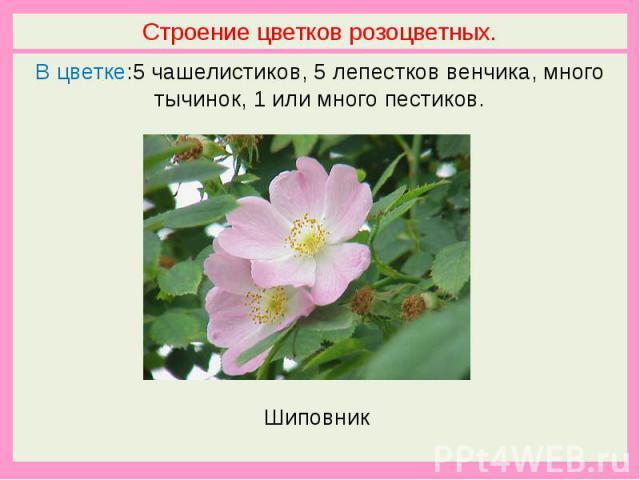 Строение цветков розоцветных.В цветке:5 чашелистиков, 5 лепестков венчика, много тычинок, 1 или много пестиков. Шиповник