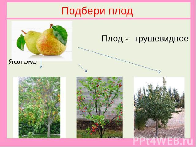 Подбери плод Плод - грушевидное яблоко