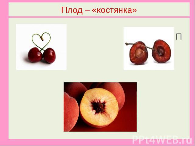 Плод – «костянка»Вишня П