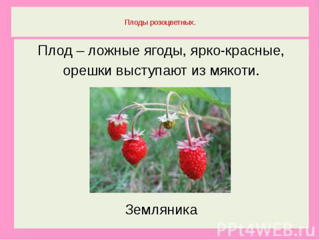 Плоды розоцветных.Плод – ложные ягоды, ярко-красные,орешки выступают из мякоти.Земляника