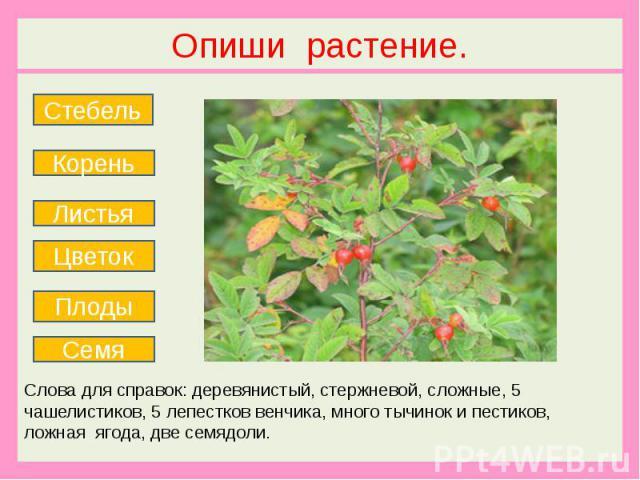 Опиши растение. Слова для справок: деревянистый, стержневой, сложные, 5 чашелистиков, 5 лепестков венчика, много тычинок и пестиков, ложная ягода, две семядоли.