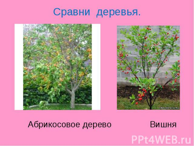 Сравни деревья. Абрикосовое дерево Вишня