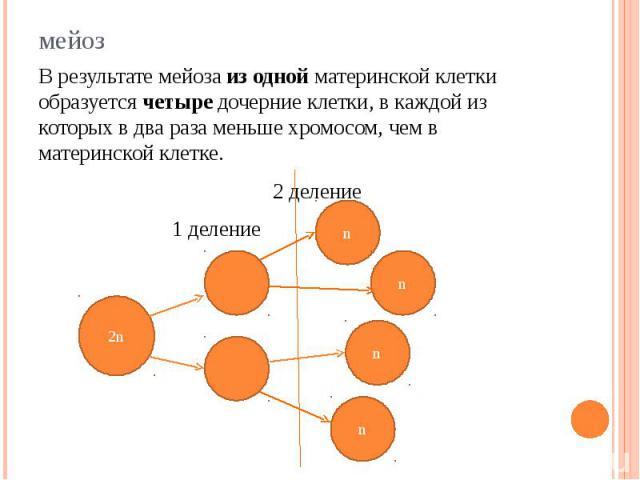 В результате мейоза из одной материнской клетки образуется четыре дочерние клетки, в каждой из которых в два раза меньше хромосом, чем в материнской клетке. 2 деление 1 деление