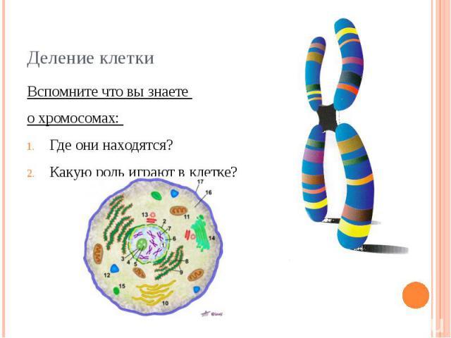 Деление клетки Вспомните что вы знаете о хромосомах: Где они находятся?Какую роль играют в клетке?