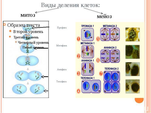 Виды деления клеток: митоз мейоз ПрофазаМетафазаАнафазаТелофаза