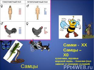 Самки - ХХСамцы – Х0 кузнечики, муравьиморской червь – бонелия (пол зависит от в