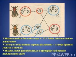 Мушка каждые две недели при t= 25 С даёт многочисленное потомство.Самец и самка