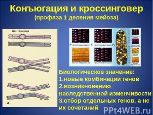 Конъюгация и кроссинговер(профаза 1 деления мейоза) Биологическое значение:новые