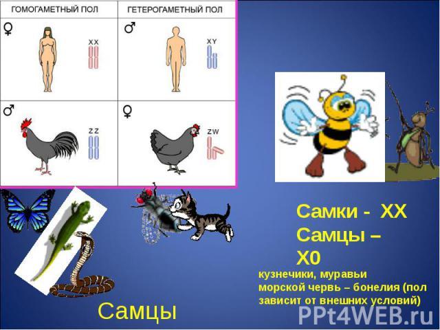 Самки - ХХСамцы – Х0 кузнечики, муравьиморской червь – бонелия (пол зависит от внешних условий)