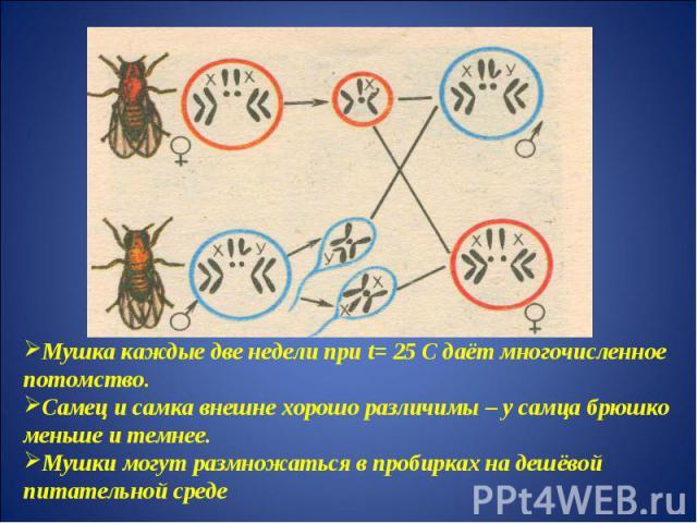 Мушка каждые две недели при t= 25 С даёт многочисленное потомство.Самец и самка внешне хорошо различимы – у самца брюшко меньше и темнее.Мушки могут размножаться в пробирках на дешёвой питательной среде
