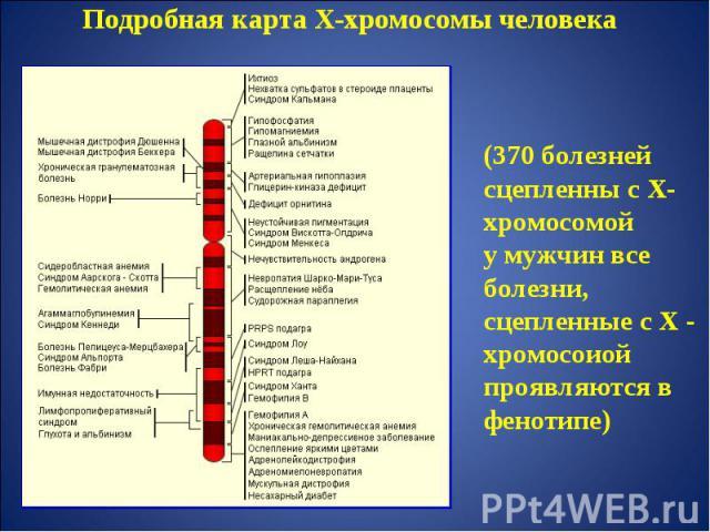 Подробная карта Х-хромосомы человека (370 болезней сцепленны с Х-хромосомойу мужчин все болезни, сцепленные с Х - хромосоиой проявляются в фенотипе)