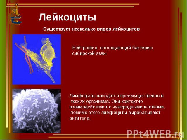 Лейкоциты Существует несколько видов лейкоцитов Нейтрофил, поглощающий бактерию сибирской язвы Лимфоциты находятся преимущественно в тканях организма. Они контактно взаимодействуют с чужеродными клетками, помимо этого лимфоциты вырабатывают антитела.