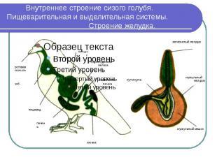 Внутреннее строение сизого голубя. Пищеварительная и выделительная системы. Стро