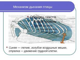 Механизм дыхания птицы Синее — легкие, голубое воздушные мешки, стрелка — движен