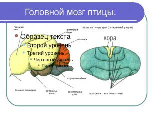 Головной мозг птицы.
