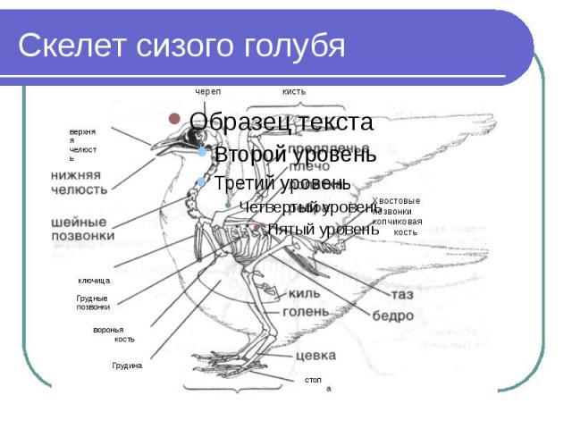 Скелет сизого голубя