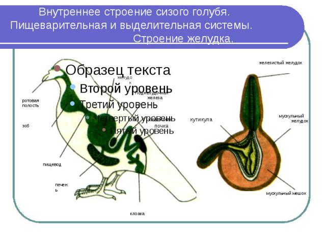 Внутреннее строение сизого голубя. Пищеварительная и выделительная системы. Строение желудка.