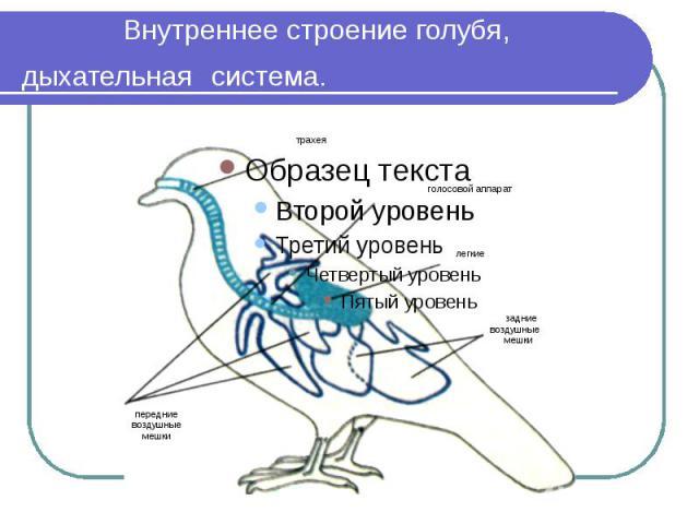 Внутреннее строение голубя, дыхательная система.