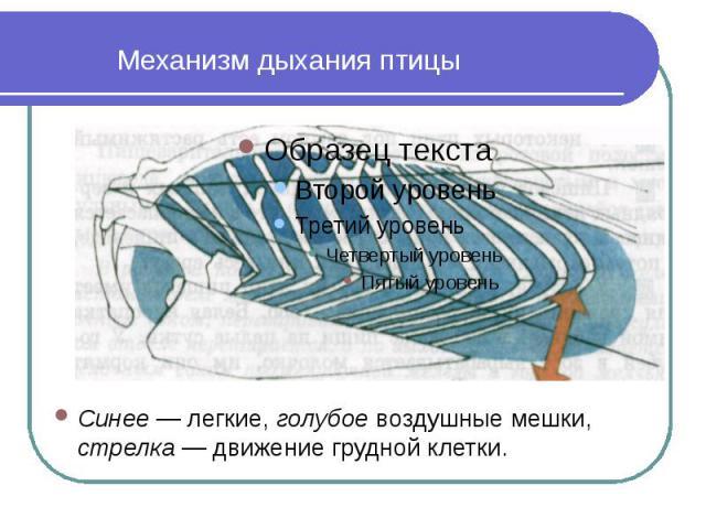 Механизм дыхания птицы Синее — легкие, голубое воздушные мешки, стрелка — движение грудной клетки.