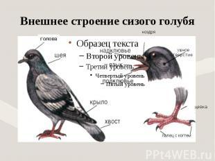 Внешнее строение сизого голубя