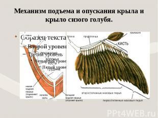 Механизм подъема и опускания крыла и крыло сизого голубя.