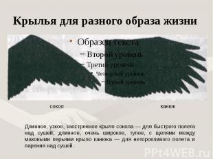Крылья для разного образа жизни Длинное, узкое, заостренное крыло сокола — для б
