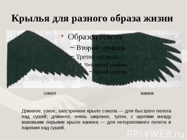 Крылья для разного образа жизни Длинное, узкое, заостренное крыло сокола — для быстрого полета над сушей; длинное, очень широкое, тупое, с щелями между маховыми перьями крыло канюка — для неторопливого полета и парения над сушей.