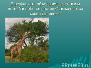 В результате объедания животными ветвей и побегов растений, изменяется крона дер