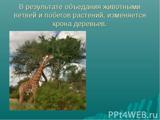 В результате объедания животными ветвей и побегов растений, изменяется крона деревьев.