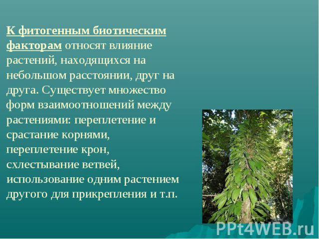 К фитогенным биотическим факторам относят влияние растений, находящихся на небольшом расстоянии, друг на друга. Существует множество форм взаимоотношений между растениями: переплетение и срастание корнями, переплетение крон, схлестывание ветвей, исп…