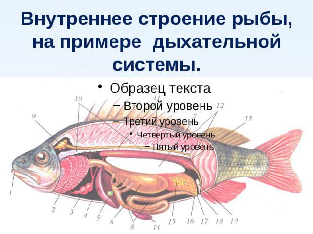 Внутреннее строение рыбы,на примере дыхательной системы.