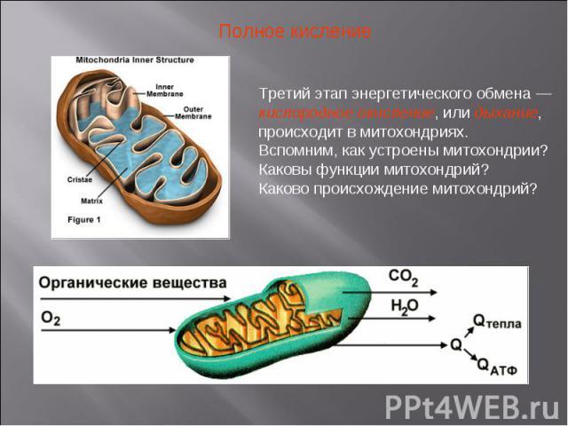 Полное кисление Третий этап энергетического обмена — кислородное окисление, или дыхание, происходит в митохондриях. Вспомним, как устроены митохондрии?Каковы функции митохондрий?Каково происхождение митохондрий?