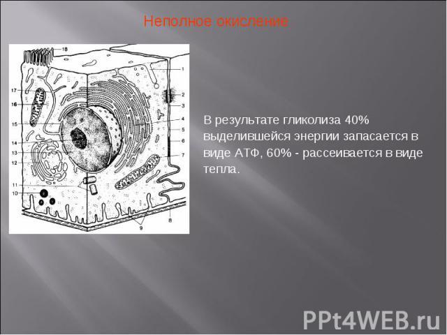 Неполное окисление В результате гликолиза 40% выделившейся энергии запасается в виде АТФ, 60% - рассеивается в виде тепла.