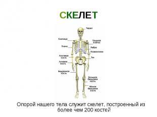 Опорой нашего тела служит скелет, построенный из более чем 200 костей