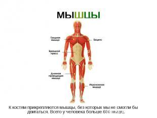 МЫШЦЫ К костям прикрепляются мышцы, без которых мы не смогли бы двигаться. Всего