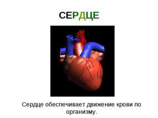 СЕРДЦЕ Сердце обеспечивает движение крови по организму.