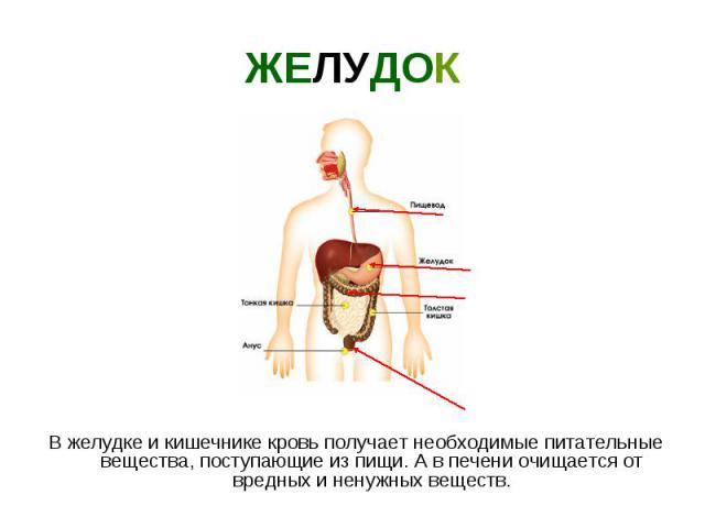 ЖЕЛУДОК В желудке и кишечнике кровь получает необходимые питательные вещества, поступающие из пищи. А в печени очищается от вредных и ненужных веществ.