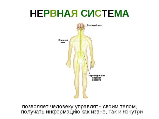 НЕРВНАЯ СИСТЕМА позволяет человеку управлять своим телом, получать информацию как извне, так и изнутри