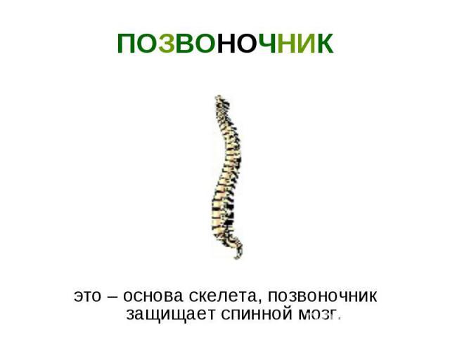 .это – основа скелета, позвоночник защищает спинной мозг.