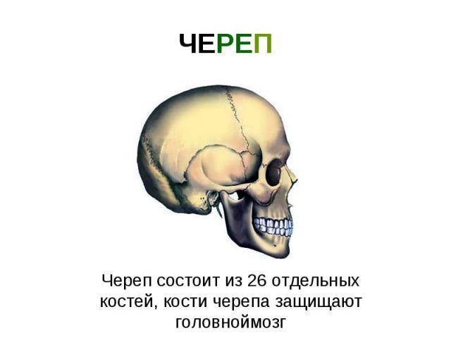 ЧЕРЕП Череп состоит из 26 отдельных костей, кости черепа защищают головноймозг